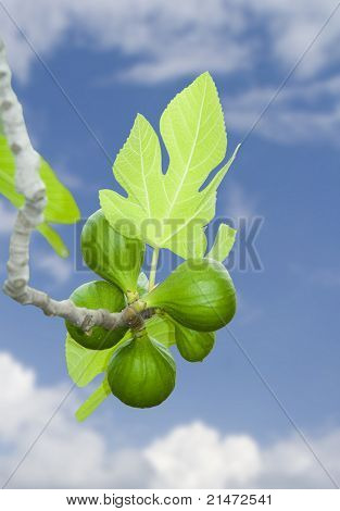 Honey green figs on a branch