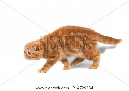 Scottish Fold Small Baby Cat Of Red Color With Short Hair In Stripe With Small Ears And Big Full-len