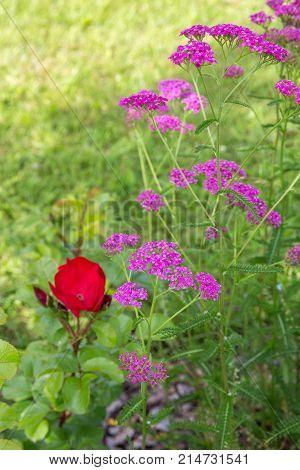 Blossoming pink purple yarrow flowers. Achillea millefolium, family Asteraceae.
