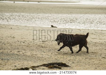 patterdale terrier playing with a large stone on the beach