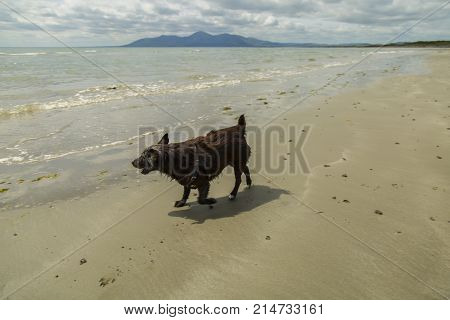 patterdale terrior playing on beach mourne mountains in background