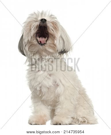 Barking Bolognese, 3 years old, sitting against white background