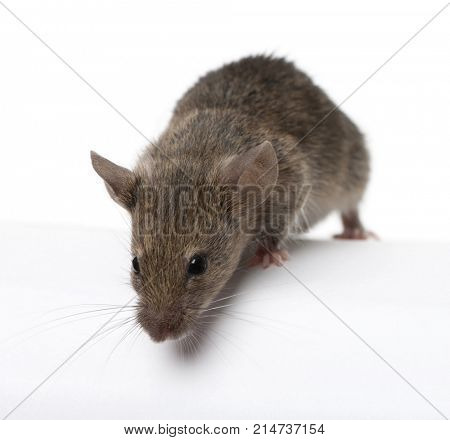 Wild mouse looking down, in front of white background, studio shot