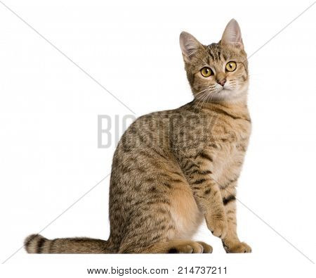 Young Bengal cat, 7 months old, sitting in front of white background, studio shot