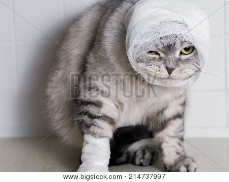 A domestic cat with a bandage. A wound on the head and paw. Animal protection.
