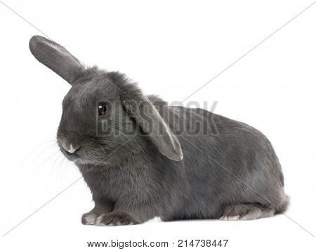 grey lop Rabbit (8 months old) in front of a white background