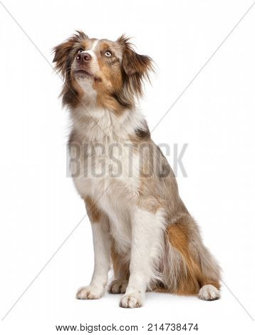 australian shepherd looking up in front of a white background