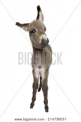 Portrait of donkey foal, 2 months old, standing against white background, studio shot