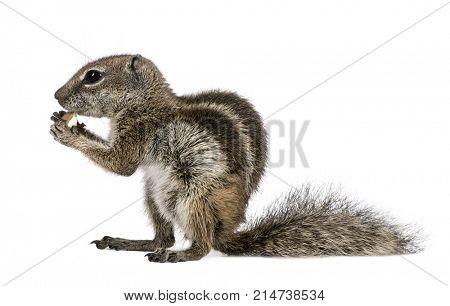 Barbary Ground Squirrel eating nut, Atlantoxerus getulus, against white background, studio shot