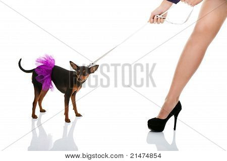 woman's leg and dog in pink dress on leash isolated on white background poster