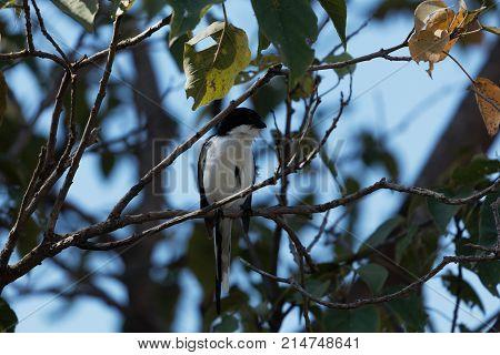 Common Fiscal (lanius Collaris) In A Tree