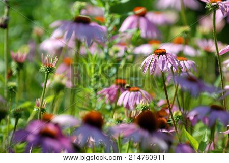 The echinacea plant is also known as the purple coneflower.