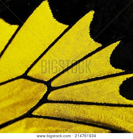A fragment of a bright yellow and black wing of a golden birdwing butterfly from the Philippines, Triodes rhadamantus. Butterfly wing is devided into cells with veins, and covered with scales.
