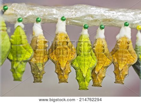 Yellow and green pupae of a golden birdwing butterfly from the Philippines, Triodes rhadamantus, are hanged in a row in an emergence chamber in a living tropical butterfly exhibition.