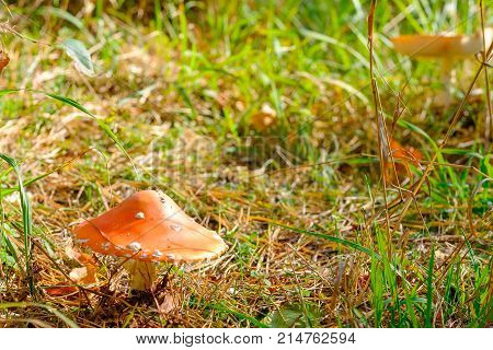 Mushroom fly agaric in the foreground the background is blurred