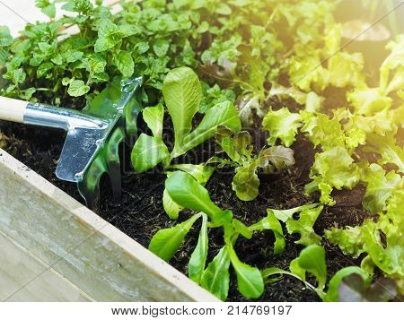 Close up harrow and young vegetables growing in wooden bed at backyard.