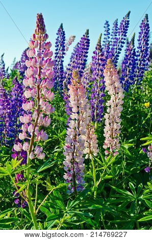 Purple and pink lupins wild flowers in Newfoundland in backlit