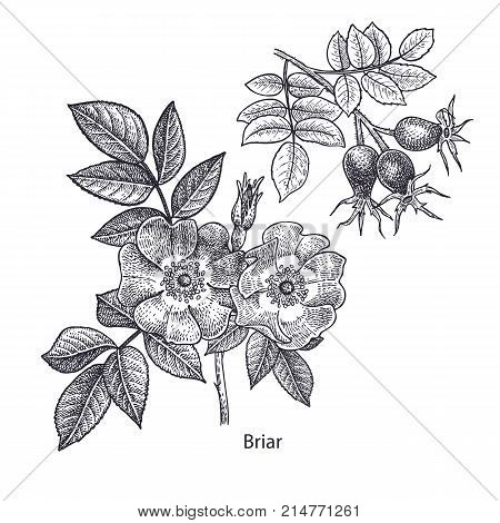 Dog rose flower and briar. Medical herbs and plants Isolated on white background series. Vector illustration. Art sketch. Hand drawing object of nature. Vintage engraving style. Black and white.