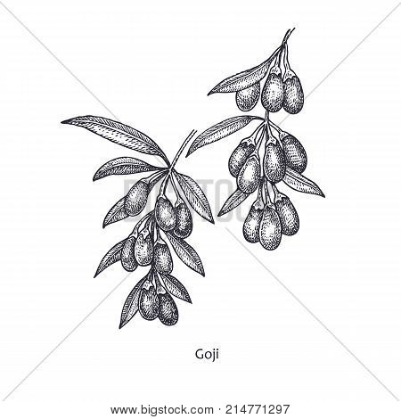 Goji berries. Medical herbs and plants Isolated on white background series. Vector illustration. Art sketch. Hand drawing object of nature. Vintage engraving style. Black and white.