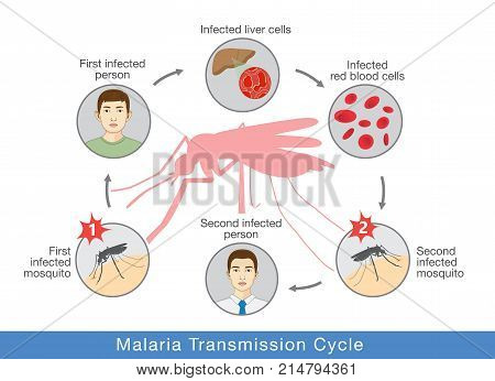 Illustration showing Malaria transmission cycle. Step of infections in people with mosquito.