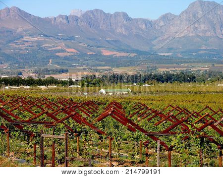 LANDSCAPE, WITH GRAPE VINES IN THE FORE GROUND AND MOUNTAINS IN THE BACK GROUND 02