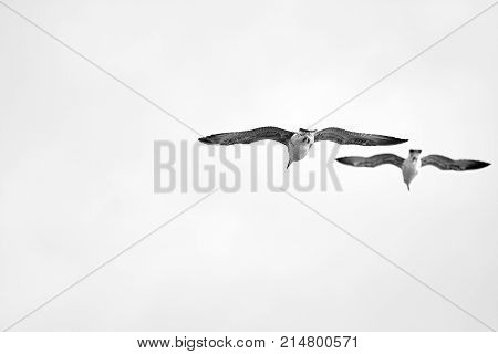 Two seagulls flying with wins wide open on a white sky