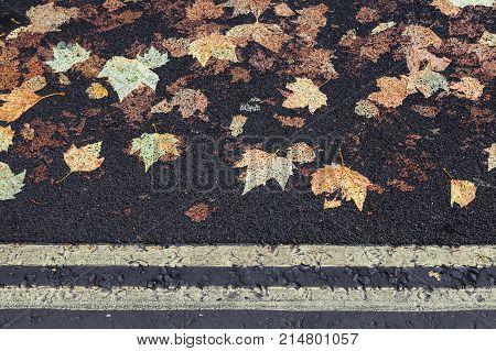 Fallen Sycamore Leaves Imprinted In Asphalt