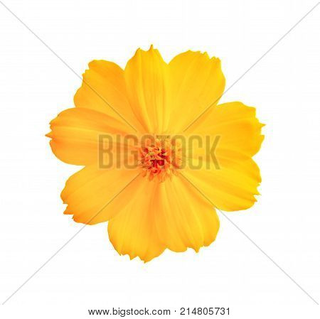 Cosmos flower isolated white background Cosmos flower isolated