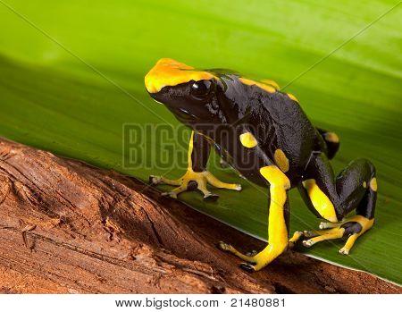 frog with bright orange and black colors. Poison dartfrog of amazon rainforest. Dendrobates tinctorius a beautiful pet animal.
