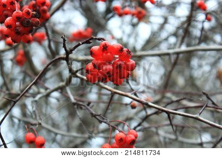 Hawthorn berries on branch in winter. Red berries in the cold. Clusters of hawthorn on the wind. Hawthorn berries on the sky. The Bush of Hawthorn in autumn. Winter berries. Frozen berries