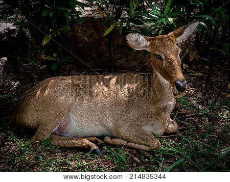Roe deer wildlife Wildlife scene from nature.