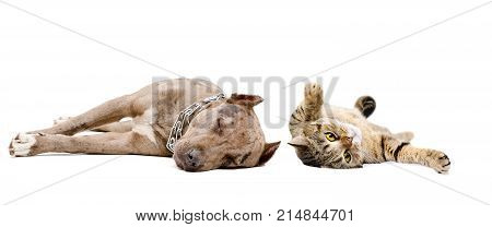 Dog pit bull and Scottish Straight cat sleeping together, isolated on white background