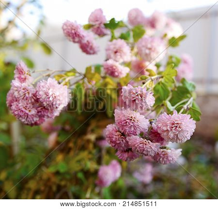 Pink Chrysanthemum Photo