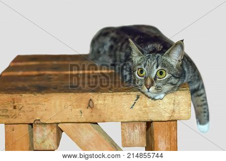 naughty pet with wild eyes and prepares to jump on a wooden stool