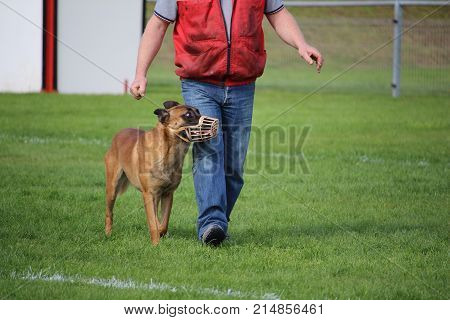 the Belgian Malinois shepherd is muzzled at the canine sport competition for the walk to the foot poster
