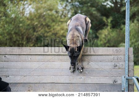 a Malinois Belgian Shepherd Dog jumps a high fence for a dog competition