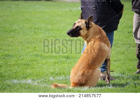 a Malinois Belgian Shepherd Dog does not move while his teacher speaks to the judge