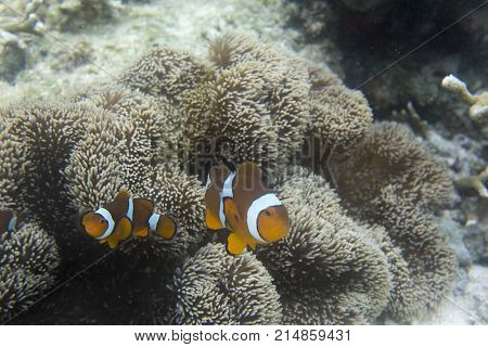 Clownfish In Anemone Under The Sea