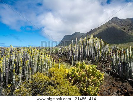 Cactuses in the desert with mountains on the background Tenerife Canary Islands Spain