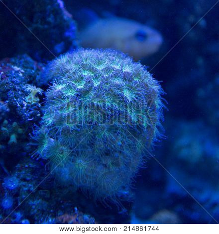 Coral Closeup Detail Under Blue Lights