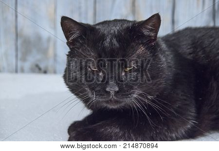 Old, lazy cat. Adult, naked, black cat. The cat is well fed, has a round mound. The short hair is shiny. The cat is sleepy and weary. It is a white background.