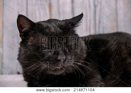 Adult, naked, black cat. The cat is well fed, has a round mound. The short hair is shiny. The cat is sleepy and weary. It is a white background.