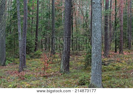 High, coniferous forest. High coniferous forest. Long, slender trunks of tall pine trees in brown. Between pine trees low spruce and deciduous bushes. It is autumn leaves on the bushes are dry and have brown color. It's daytime.