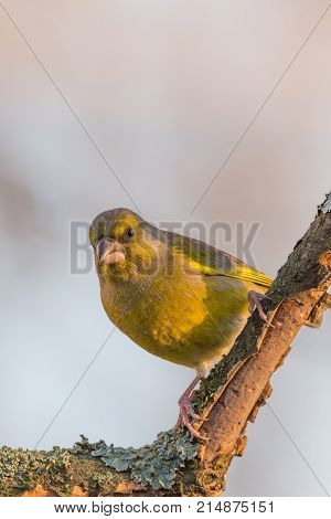 Colorful Greenfinch Bird Perched On Twig Partially Without Bark