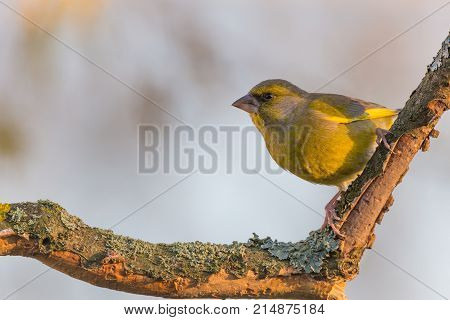 Colorful Green-finch Bird Perched On Twig Partially Without Bark