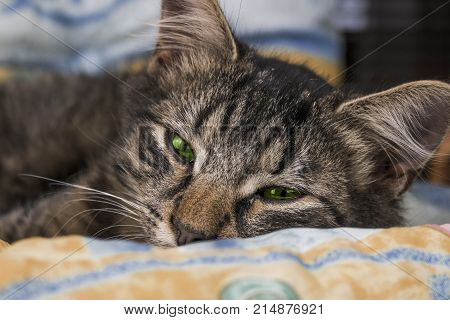 Young brown striped cat with green eyes is lying and posing to camera. Beautiful little cat looking to camera before sleeping. Sleepy brown and cute cat with magical eyes.