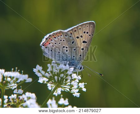 The purple-shot copper butterfly, Lycaena alciphron, feeds on flowers of a beacked chervil in the sunshine. The butterfly has blue wing underside with some orange spots.