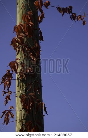 Red ivy leaves on a power pole