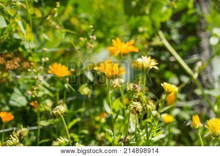 Marigolds Flowers Blooming, Calendula Officinalis