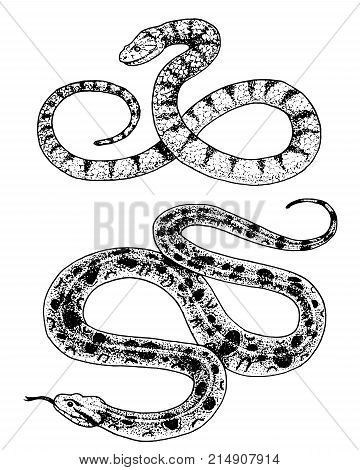 Viper snake. serpent cobra and python, anaconda or viper, royal. engraved hand drawn in old sketch, vintage style for sticker and tattoo. ophidian and asp